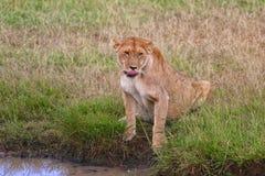 Leona que bebe en el masai Mara Imagen de archivo