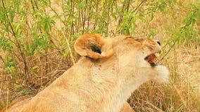 Leona que bosteza, Masai Mara metrajes