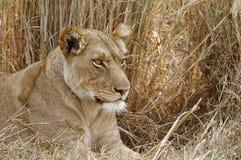 Leona que busca una cierta cena en el parque nacional de Kafue en Za Imagenes de archivo