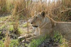 Leona que descansa en el parque nacional de Kafue en Zambia Imagenes de archivo