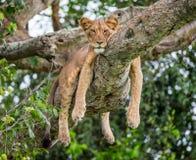 Leona que miente en un árbol grande Primer uganda La África del Este Fotos de archivo
