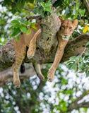 Leona que miente en un árbol grande Primer uganda La África del Este Foto de archivo