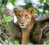 Leona que miente en un árbol grande Primer uganda La África del Este Imagen de archivo
