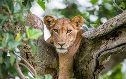 Leona que miente en un árbol grande Primer uganda La África del Este Fotos de archivo libres de regalías
