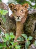 Leona que miente en un árbol grande Primer uganda La África del Este Imagenes de archivo