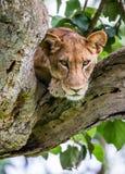 Leona que miente en un árbol grande Primer uganda La África del Este Fotografía de archivo
