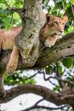 Leona que miente en un árbol grande Primer uganda La África del Este Imagen de archivo libre de regalías