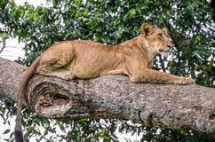 Leona que miente en un árbol grande Primer uganda La África del Este Foto de archivo libre de regalías