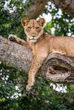 Leona que miente en un árbol grande Primer uganda La África del Este Fotografía de archivo libre de regalías