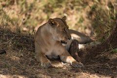 Leona que mira un grupo de cebras en el par del nacional de Tarangire Fotos de archivo libres de regalías