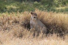 Leona que oculta en el prado Fotografía de archivo