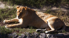 Leona que se acuesta y que descansa Despredador Fotografía de archivo libre de regalías