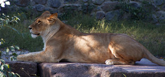 Leona que se acuesta y que descansa Despredador Imagen de archivo