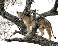 Leona que se coloca en árbol Imagen de archivo