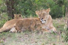 Leona y cachorros africanos (Panthera leo) imagen de archivo
