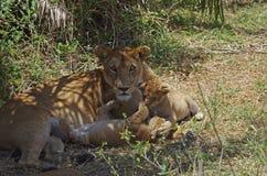 Leona y Cubs en África Fotos de archivo libres de regalías