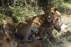Leona y Cubs en África Fotografía de archivo