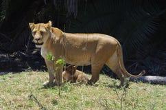 Leona y Cubs en África Fotografía de archivo libre de regalías