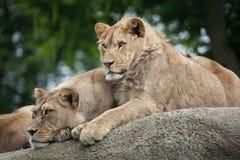 Leona y león masculino juvenil (Panthera leo) Foto de archivo libre de regalías