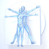 Leonardo da Vinci Vitruvian Man and Woman, Couple. Transparent blue on white background, with bones, 3d rendering Royalty Free Stock Images