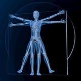 Leonardo da Vinci Vitruvian Woman Arkivbilder