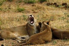 Leonas africanas una de los cinco grandes Fotografía de archivo