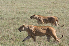 Leonas en el vagabundeo en el cráter de Ngorongoro Imagen de archivo