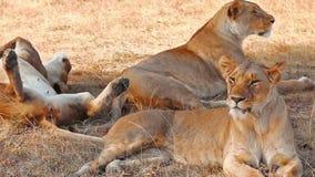 Leonas en Masai Mara almacen de video