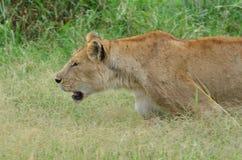 leonas que caminan en la sabana en el parque nacional de Serengeti Imagen de archivo