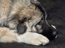 Leonberg dog Stock Photography
