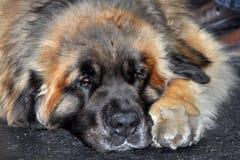 Leonberg dog royalty free stock images