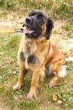 Leonberger 狗品种Leonberger 狗走本质上 一个大动物通过森林走 爱犬养殖Leonberger ? 免版税图库摄影