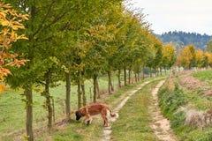 Leonberger 狗品种Leonberger 狗走本质上 一个大动物通过森林走 爱犬养殖Leonberger ? 免版税库存照片