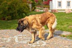 Leonberger 狗品种Leonberger 狗走本质上 一个大动物通过森林走 爱犬养殖Leonberger ? 图库摄影