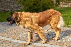Leonberger 狗品种Leonberger 狗走本质上 一个大动物通过森林走 爱犬养殖Leonberger ? 免版税库存图片