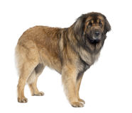 Leonberger (3 years old) royalty free stock image