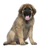 Leonberger, 4 months old, sitting Royalty Free Stock Photography