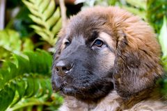 Leonberger Stock Photos