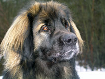 Leonberger. A young leonberger posing royalty free stock photo
