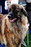 Leonberger Stockfotos