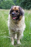 Leonberger. Beautiful Leonberger dog walking in a meadow Royalty Free Stock Photography