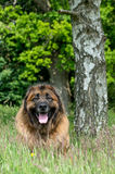 Leonberger obrazy stock
