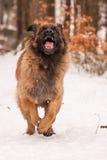 Leonberger Ajax royalty-vrije stock foto's