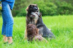 Three dogs waiting in front of a woman. A Leonberger, an Australian cattledog and a Havanese dog are waiting for a treat in front of a woman Stock Photo