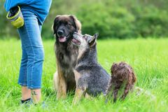 Three dogs waiting in front of a woman. A Leonberger, an Australian cattledog and a Havanese dog are waiting for a treat in front of a woman Royalty Free Stock Photography