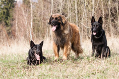 Leonberger with Black German Shepherd Stock Images
