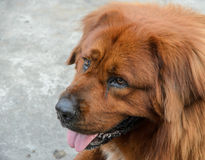 Leonberger brown dog Royalty Free Stock Photo