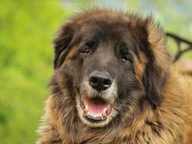 Leonberger dog Royalty Free Stock Images