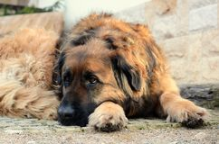 Leonberger dog Royalty Free Stock Photos