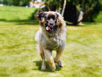 Leonberger dog Royalty Free Stock Image